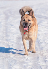 Running West Siberian Laika (Husky)