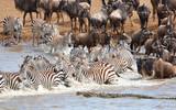 Herd of zebras (African Equids) and Blue Wildebeest (Connochaete