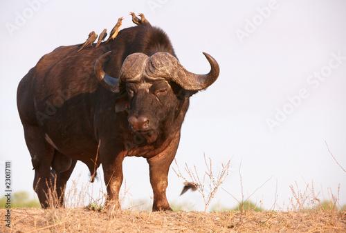 Plexiglas Buffel Buffalo (Syncerus caffer) in the wild