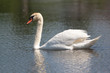 A beautiful mute swan in a pond