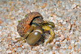 Hermit crab 24 poster