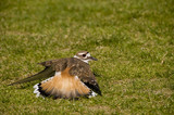 Killdeer fakes broken wing to protect nest