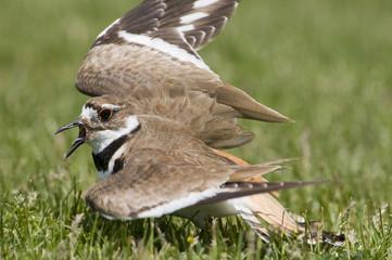Kildeer fakes broken wing to protect nest