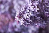 Fototapety Close-up beautiful lilac flowers