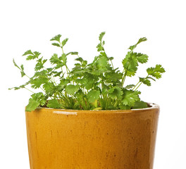 Cilantro In Ceramic Pot