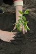woman planting a tomato plant