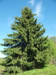Pyramidal fur-tree