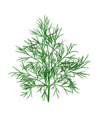 Twig of a dill isolated on white background.