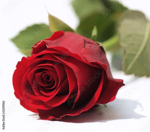 Rote Rose ganz nah