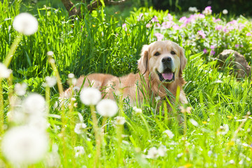 Gold retrivet in grass
