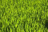 harmonic structure of green corn poster