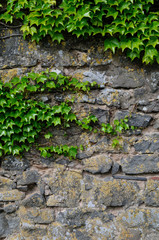 ivy at a wall
