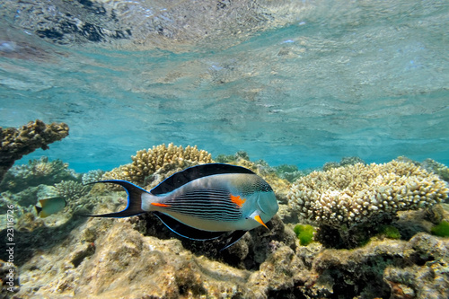 Sohal Surgeonfish on the coral reef in the red sea