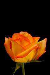 Beautiful orange yellow rose on black - vertical