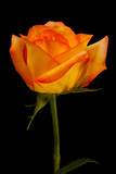 Single orange yello rose on black - vertical
