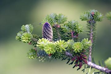 frischer zapfen an tannenbaum