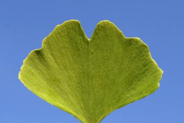 Gingko leaves. Leaves, Gingko biloba,