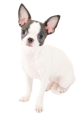 white with black chihuahua puppy portrait isolated