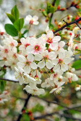cherry blooming branch