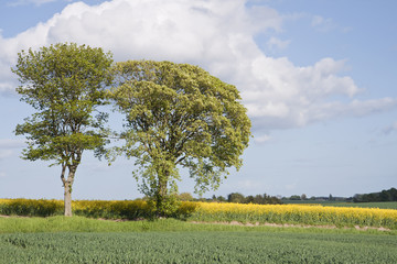 Trees at the Rape Field