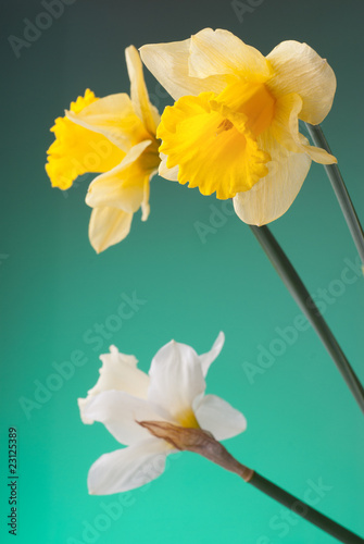 yellow and white narcissus on green background