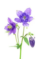 blue columbine - aquilegia flower