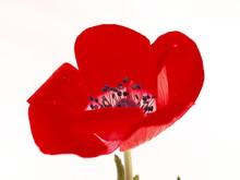 Isolé tête du coquelicot rouge sur fond blanc