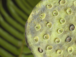 Lotus flower seed head