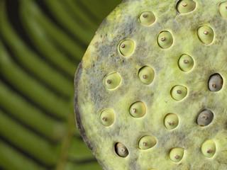 Lotus flower seed head