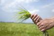Hand keep green ears of wheat