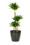 Fototapety Dracaena plant isolated on the white background