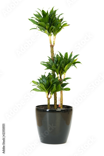 Papiers peints Cactus Dracaena plant isolated on the white background