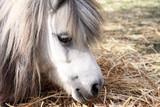 shetland pony portrait poster