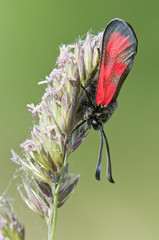 Zygaena butterfly on meadow spike in green background