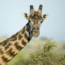 Close-up portrait of giraffe, Serengeti National Park, Serengeti