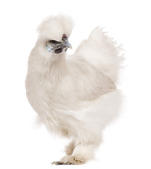 White Silkie chicken, 6 months old