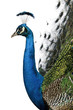 Profile of Male Indian Peafowl in front of white background