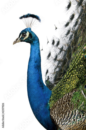 In de dag Pauw Profile of Male Indian Peafowl in front of white background