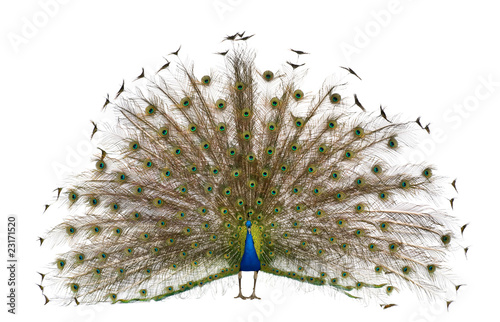 Foto op Plexiglas Pauw Front view of Male Indian Peafowl displaying tail feathers
