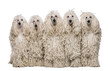 Five White Corded standard Poodles