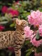 Blütenduft und Bengalkatze