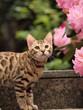 Bengalkatze und Blüten