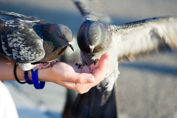 Couple of pigeons are eating crumbs from woman's hand