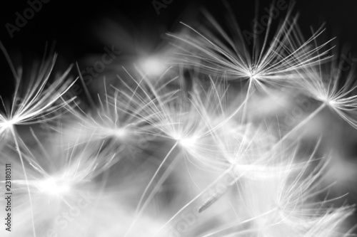 Macro beauty dandelion - 23180311