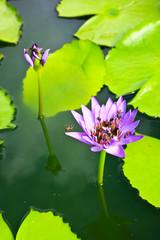 Thai lotus