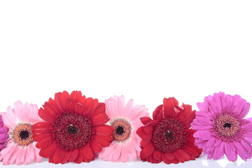 Pink red Gerbera flower isolated on white