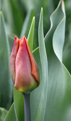 Red tulip relating to green leaves