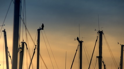Group of crows staying on yacth poles. HD 1080p.
