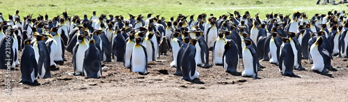 In de dag Pinguin King Penguins at Volunteer Point