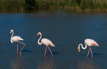 Flamingos auf Nahrungssuche